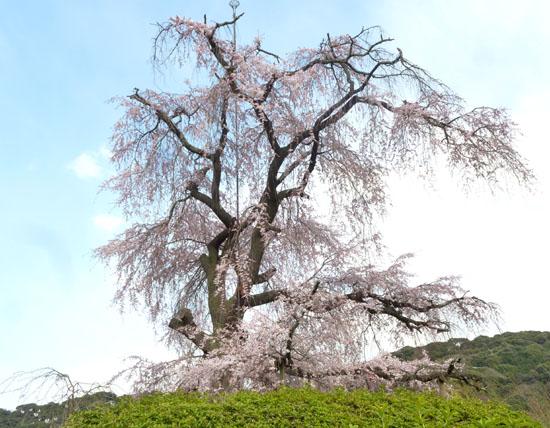 盛りのしだれ5 円山公園_e0048413_213478.jpg
