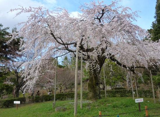 盛りのしだれ5 円山公園_e0048413_214147.jpg