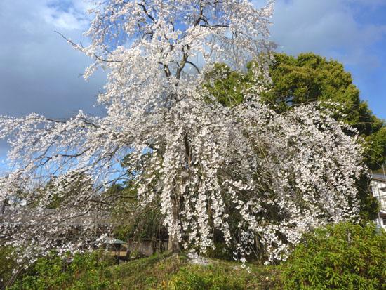 盛りのしだれ5 円山公園_e0048413_2143593.jpg