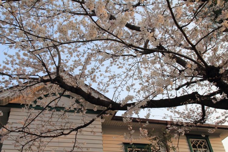 都電雑司ヶ谷  旧宣教師館の桜_b0061717_1172378.jpg