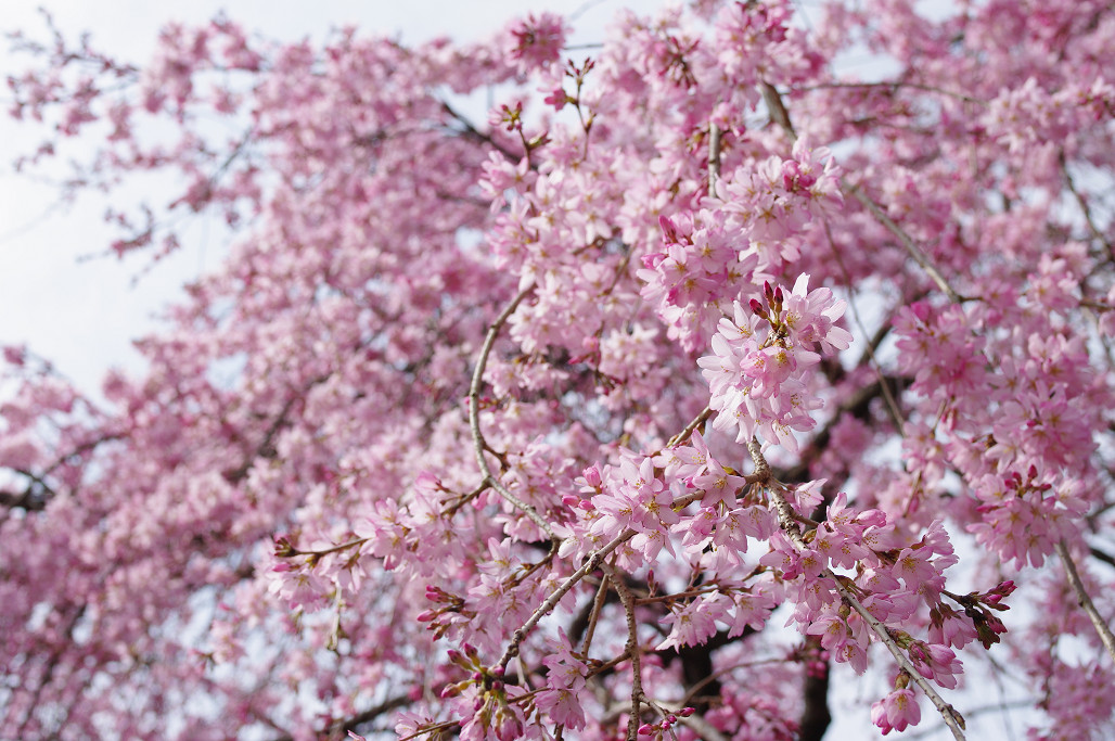 桜 ~法金剛院~立本寺~京都御苑~_f0152550_23125278.jpg