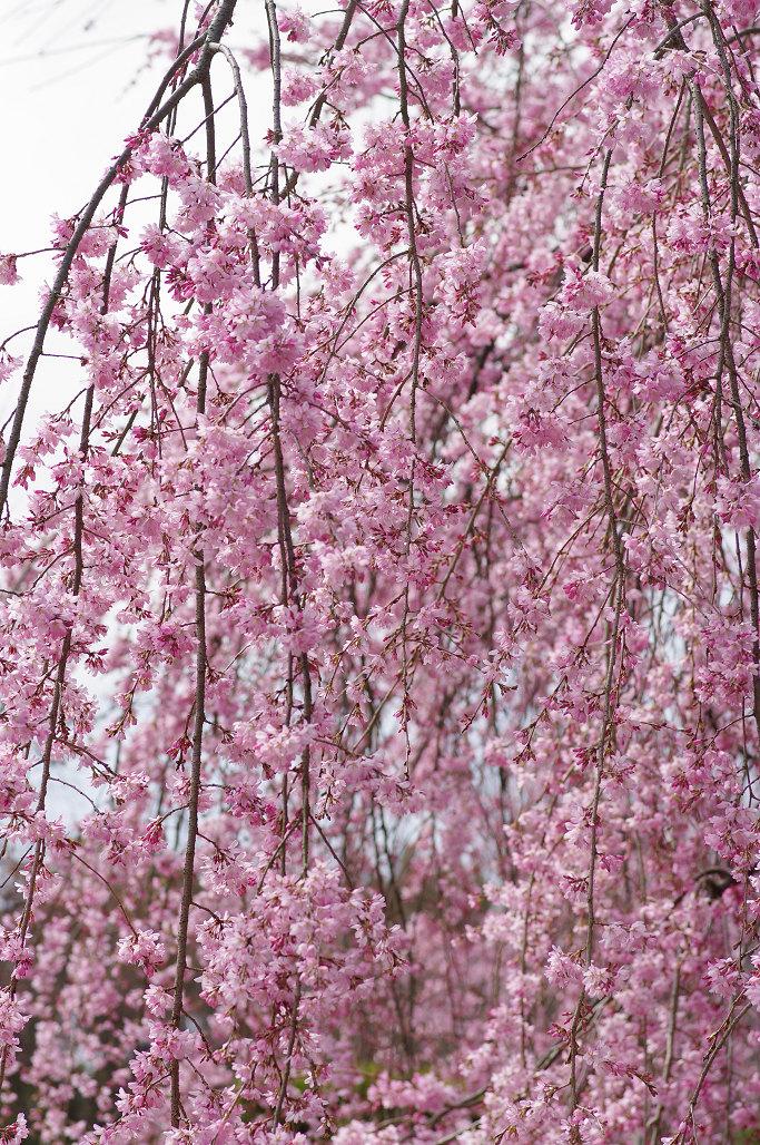 桜 ~法金剛院~立本寺~京都御苑~_f0152550_23131346.jpg