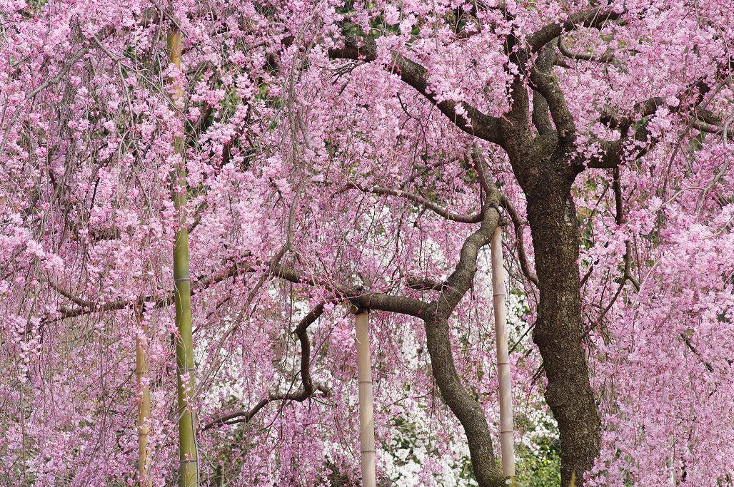 桜 ~法金剛院~立本寺~京都御苑~_f0152550_23132542.jpg