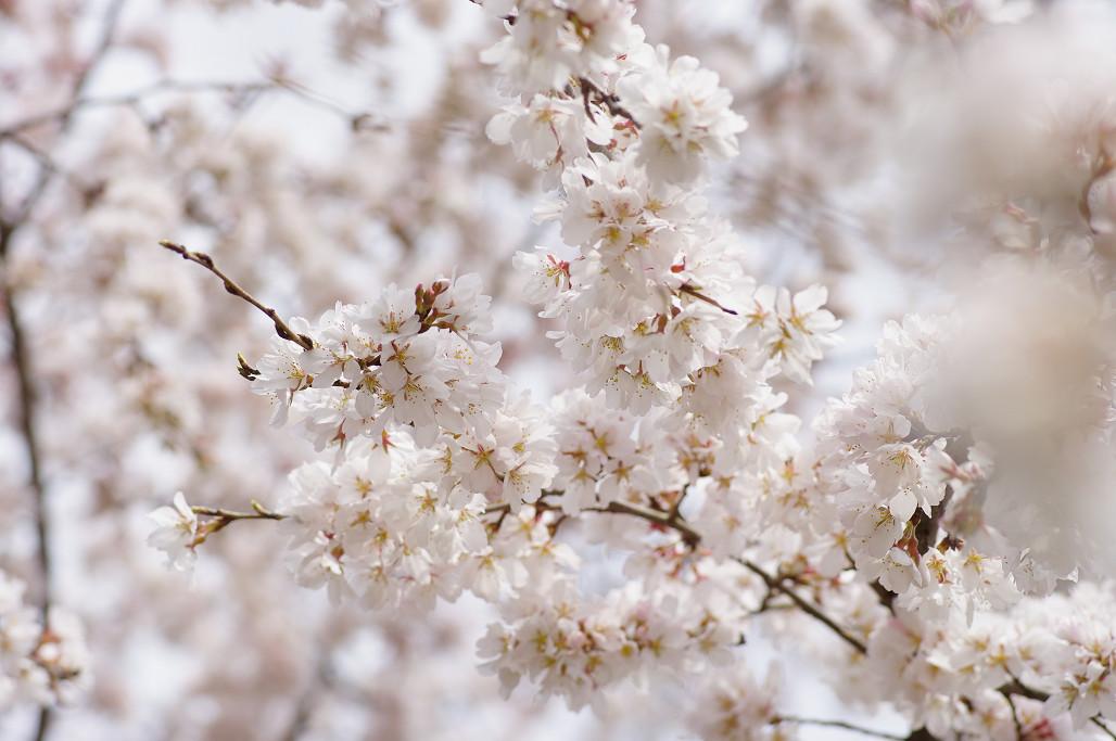 桜 ~法金剛院~立本寺~京都御苑~_f0152550_2313275.jpg