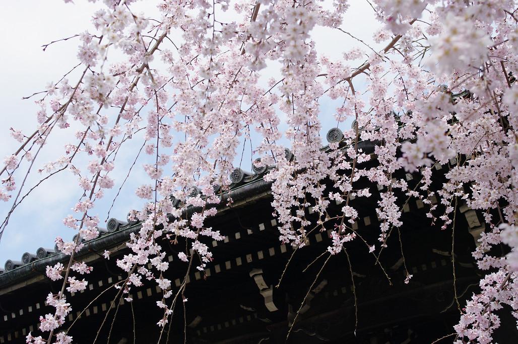 桜 ~法金剛院~立本寺~京都御苑~_f0152550_23133841.jpg