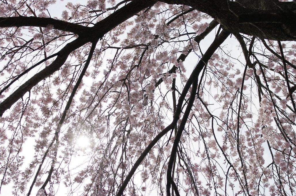 桜 ~法金剛院~立本寺~京都御苑~_f0152550_23134812.jpg