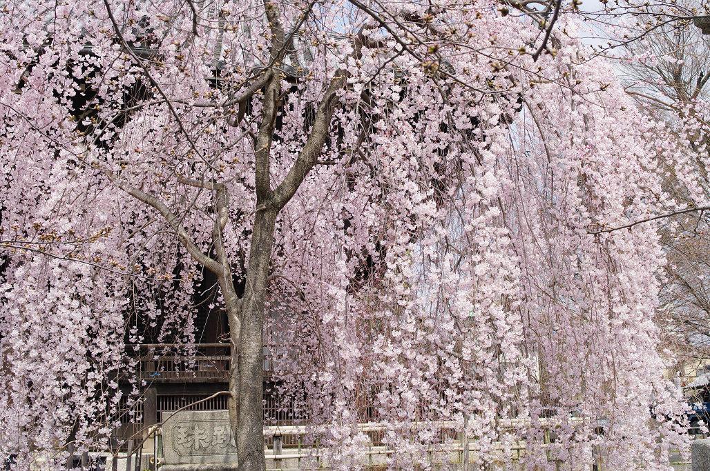 桜 ~法金剛院~立本寺~京都御苑~_f0152550_23135818.jpg