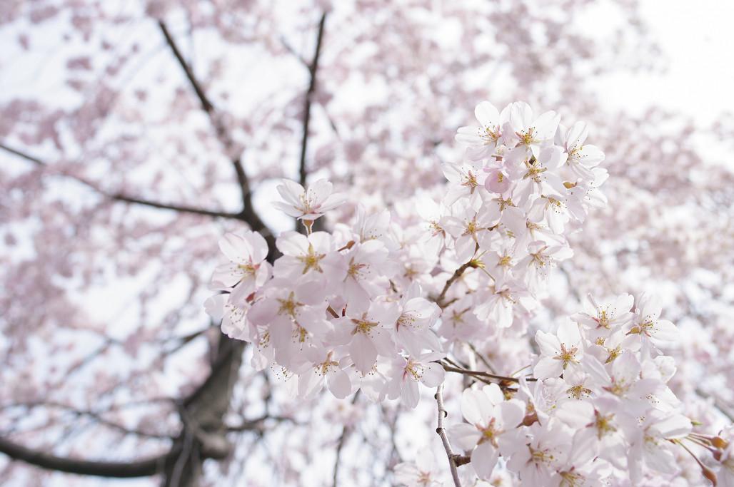 桜 ~法金剛院~立本寺~京都御苑~_f0152550_23141951.jpg