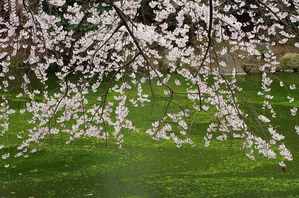 桜 ~法金剛院~立本寺~京都御苑~_f0152550_23145191.jpg