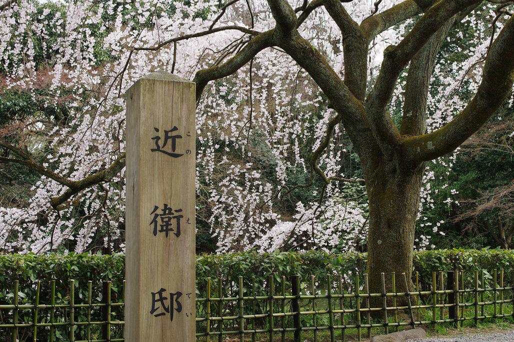 桜 ~法金剛院~立本寺~京都御苑~_f0152550_2315065.jpg