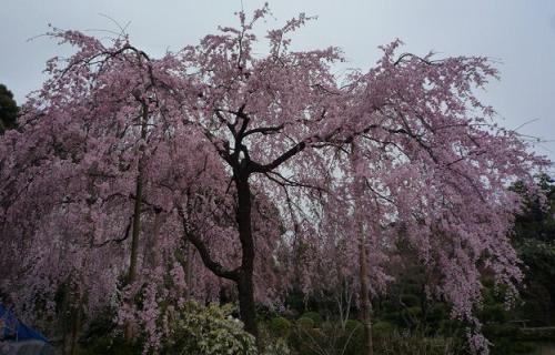 母と法金剛院へ・お客様の桜や蝶の着物姿。_f0181251_20191654.jpg