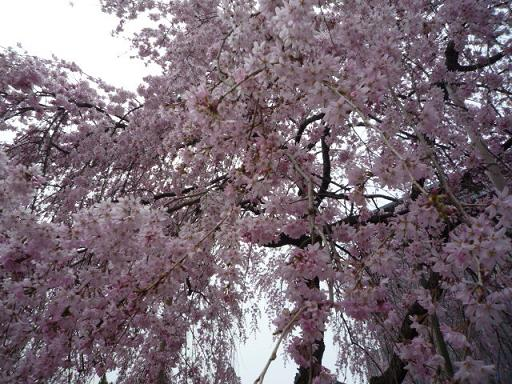 母と法金剛院へ・お客様の桜や蝶の着物姿。_f0181251_20193575.jpg