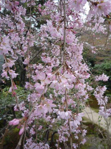 母と法金剛院へ・お客様の桜や蝶の着物姿。_f0181251_20195226.jpg