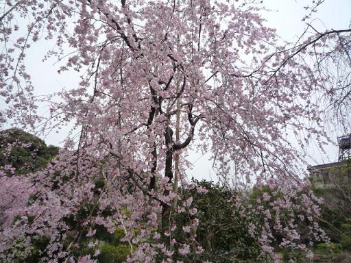 母と法金剛院へ・お客様の桜や蝶の着物姿。_f0181251_2020745.jpg