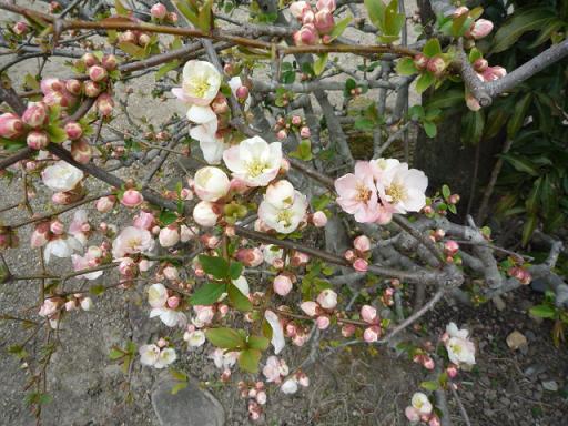 母と法金剛院へ・お客様の桜や蝶の着物姿。_f0181251_20275791.jpg