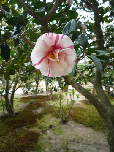 母と法金剛院へ・お客様の桜や蝶の着物姿。_f0181251_20292393.jpg