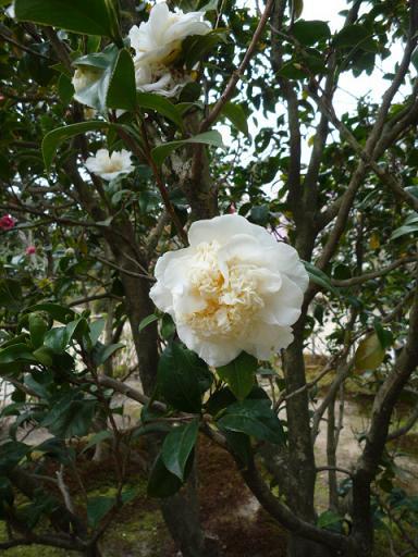 母と法金剛院へ・お客様の桜や蝶の着物姿。_f0181251_20294124.jpg