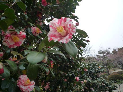 母と法金剛院へ・お客様の桜や蝶の着物姿。_f0181251_2029780.jpg