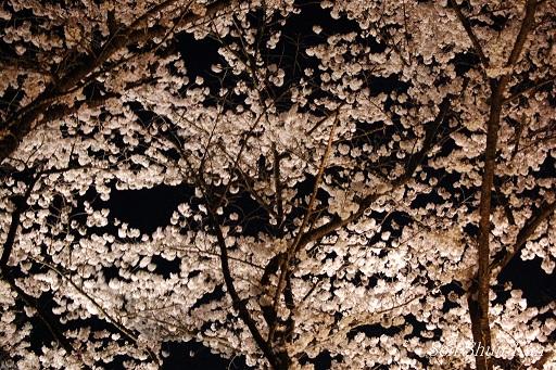 京都府立植物園 桜ライトアップ 2013年の予定_a0164068_1245984.jpg