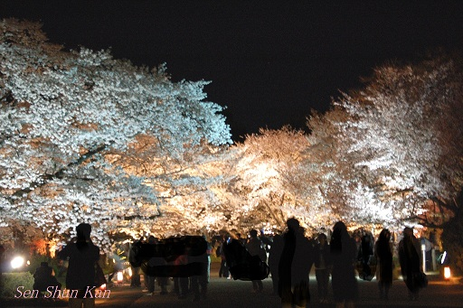京都府立植物園 桜ライトアップ 2013年の予定_a0164068_1252746.jpg