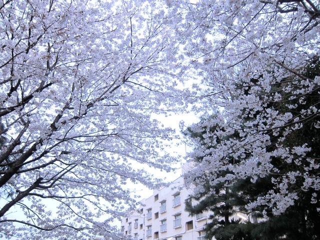 自転車は、桜の思し召しのままにすすむ_d0244370_15543765.jpg