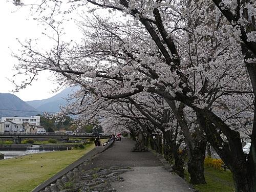別府の桜 その2 境川辺り_b0175688_23123260.jpg
