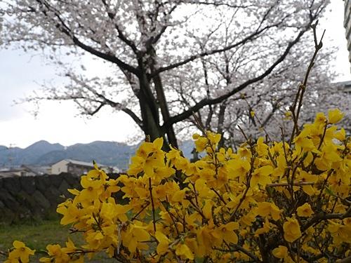 別府の桜 その2 境川辺り_b0175688_23124664.jpg