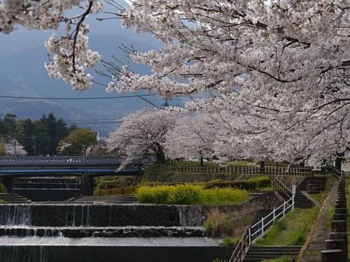 別府の桜 その2 境川辺り_b0175688_23183859.jpg