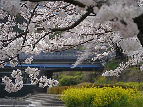 別府の桜 その2 境川辺り_b0175688_23185350.jpg