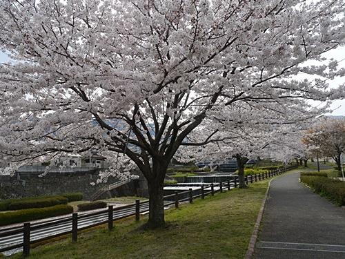 別府の桜 その2 境川辺り_b0175688_2319833.jpg