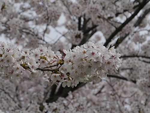 別府の桜 その2 境川辺り_b0175688_23202850.jpg