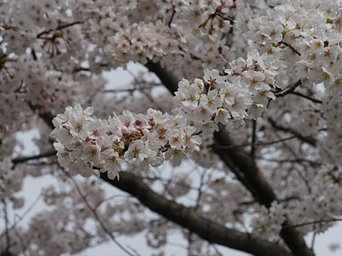 別府の桜 その2 境川辺り_b0175688_23204323.jpg