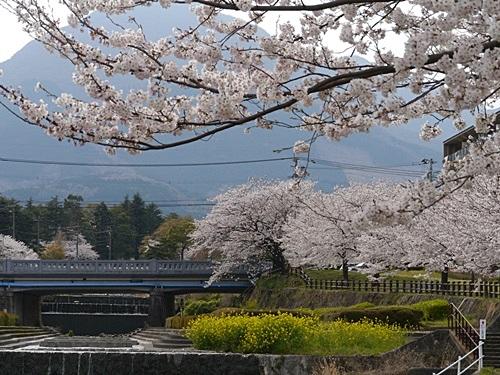 別府の桜 その2 境川辺り_b0175688_23205720.jpg