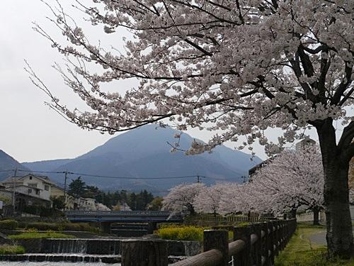 別府の桜 その2 境川辺り_b0175688_23224370.jpg