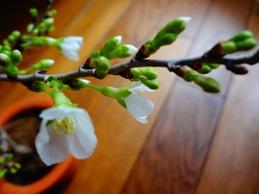 桜の季節になりました。_d0063290_21223742.jpg