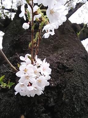 桜の季節になりました。_d0063290_21274344.jpg