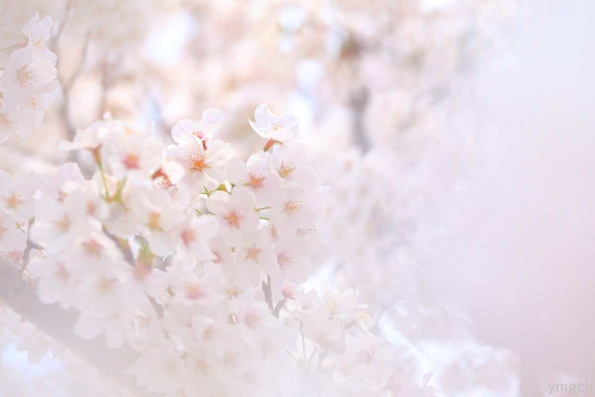 小田原城址の桜(3)_f0157812_18434113.jpg