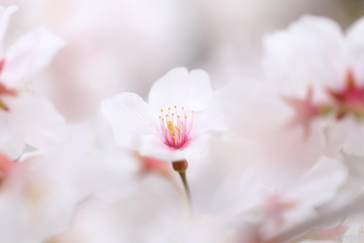 小田原城址の桜(3)_f0157812_18435734.jpg