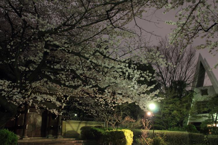 都電雑司ヶ谷  手持ち夜桜、法明寺_b0061717_0105478.jpg