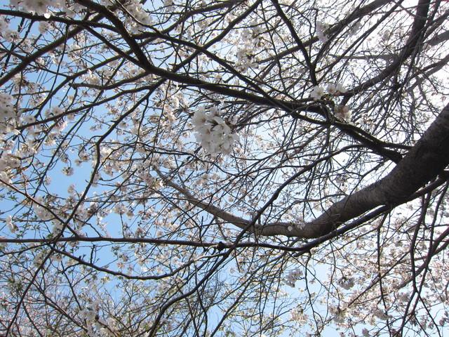 桜_b0207631_16255692.jpg