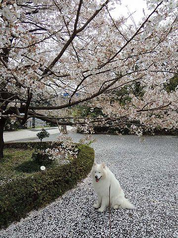 桜の名所を行く白い犬_c0062832_510119.jpg