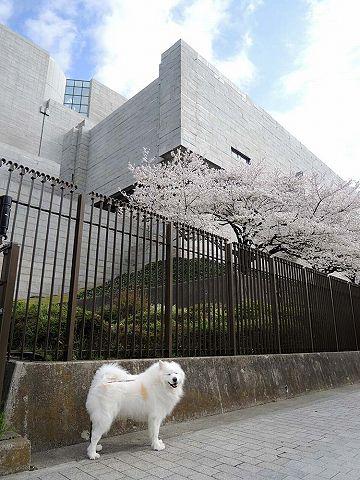 桜の名所を行く白い犬_c0062832_585978.jpg