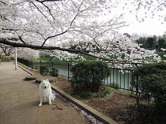 桜の名所を行く白い犬_c0062832_591173.jpg