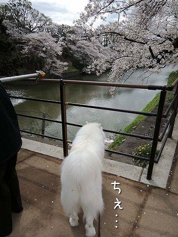 桜の名所を行く白い犬_c0062832_592589.jpg