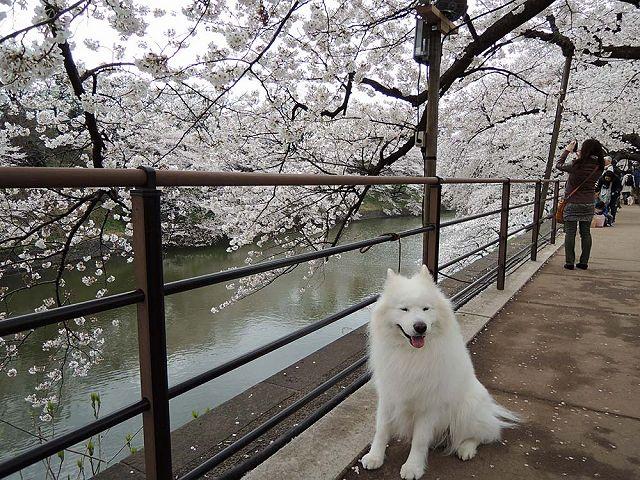 桜の名所を行く白い犬_c0062832_593258.jpg