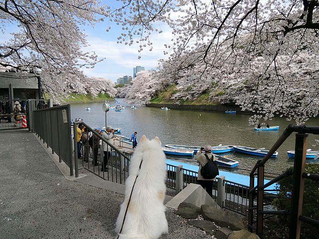 桜の名所を行く白い犬_c0062832_593933.jpg