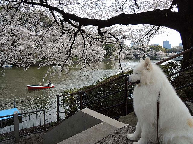 桜の名所を行く白い犬_c0062832_594951.jpg