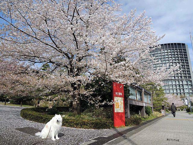 桜の名所を行く白い犬_c0062832_59623.jpg