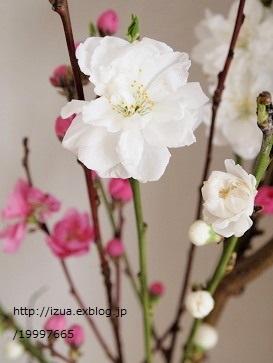桃の花を飾る_e0214646_1330185.jpg