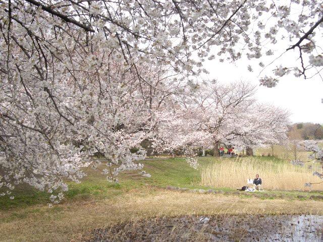 咲いた~サイタ~桜が咲いた・・・_d0116059_15224379.jpg